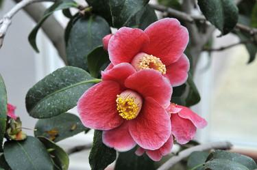 _Camellia japonica_ 'Tafu Ku Benten' Foto: Bernt Svensson