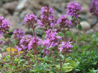 Skörda gärna dina kryddor innan de börjar blomma, då är smaken som bäst. Några plantor kan du dock odla bara för den fina blomningens skull! Här läcker timjan.