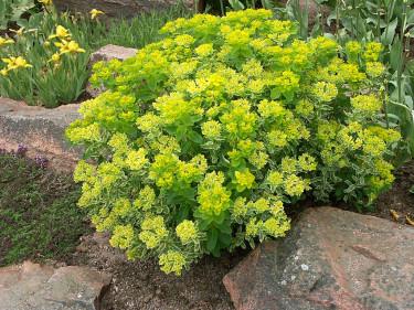 _Euphorbia polycroma_ 'Lacy' med _Iris pumila_ 'Buttercup' bakom. Foto: Sylvia Svensson