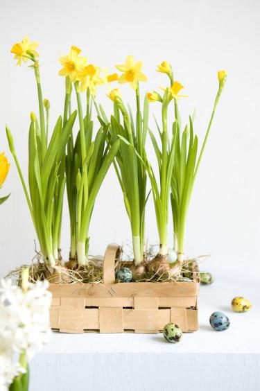 Påsklilja, _Narcissus_, Tête à Tête är förstahandsvalet till påsk för många.  Foto: Blomsterfrämjandet