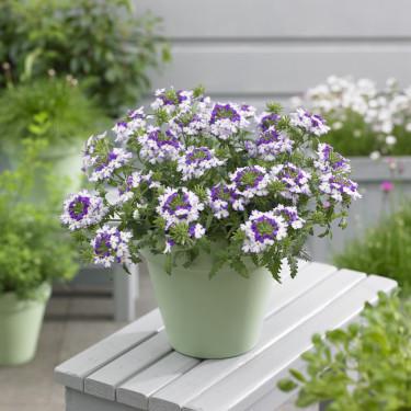 Verbena, _Glandularia Landai®_,Twister Blue på bordet.   Foto: Blomsterfrämjandet/Syngenta