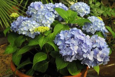 _Hydrangea macrophylla_ 'ES The Original'. Foto: Sylvia Svensson