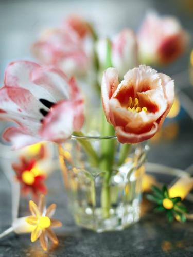 Tulpan, _Tulipa_.