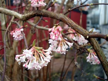 Hybridkejsarolvon, _Viburnum x bodnantense_, 'Dawn' under vintern. Foto: Sylvia Svensson