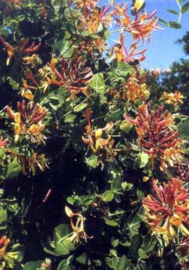 Blomsterkaprifol, _Lonicera x heckrottii_ 'American Beauty'. Foto: PPH.