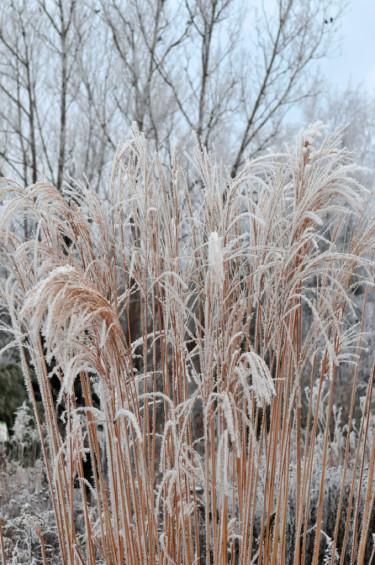 Klipp inte ner gräsvipporna, de är vackra med rimfrost på!Foto: Sylvia Svensson