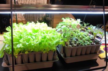 Sallat på gång i så kallad pluggbox under växtbelysning. Foto: Sylvia Svensson