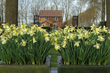 Påsklilja, _Narcissus_, 'W.P. Milner' i mängder! Foto: Blomsterfrämjandet