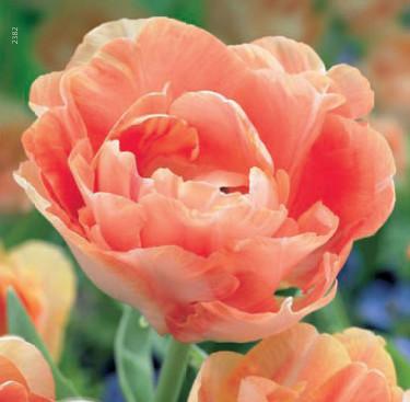 Tulipa 'Orange Angelique'. Foto: Odla.nu