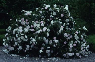 En härdig buske i full flor. Foto: Lars-Åke Gustavsson