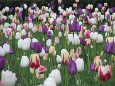 Tulpaner, tulpaner, tulpaner - många tillsammans är en uppseendeväckande syn! Foto: [Odla.nuShop](http://erbjudande.odla.nu/hl/?p=1)