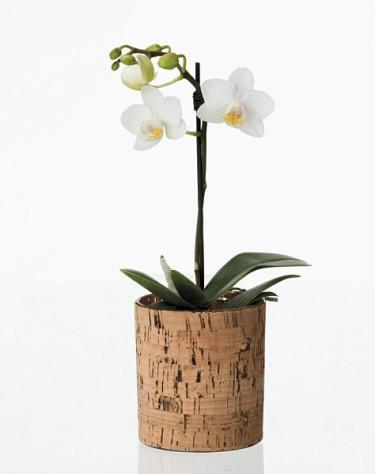 _Phalaenopsis_, orkidé.