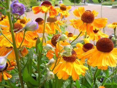 Solbrud, _Helenium autumnale_ 'Wyndley'.Foto: Sylvia Svensson