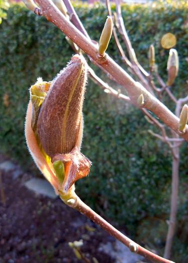 Frostskadad magnoliaknopp.