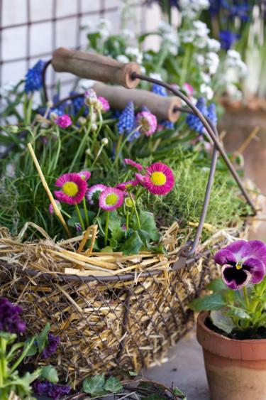 Tusensköna i härlig samvaro med bland annat pärlhyacint. Foto: Blomsterfrämjandet Minna Mercke Schmidt.