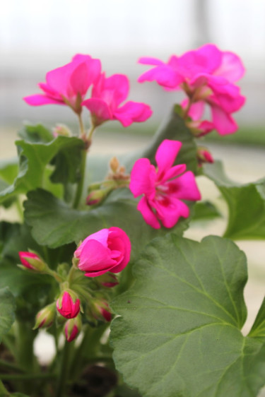 Pelargon 'Katarina' Foto: Blomsterfrämjandet