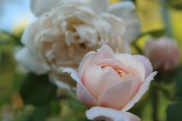 "Austinros "" The crocus rose"" // Foto: Anna Theorin"