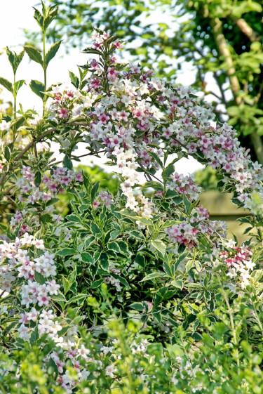Den finns mängder av vackra sorter att välja på om du ska odla prakttry. Här brokbladiga, rosablommande 'Variegata'. Foto: PPH