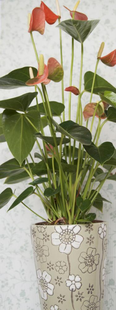 Rosenkalla, _Anthurium Andraeanum_-Gruppen i blommigt.
