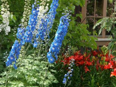 Glödande asiatiska liljor med riddarsporrar.Foto: Sylvia Svensson