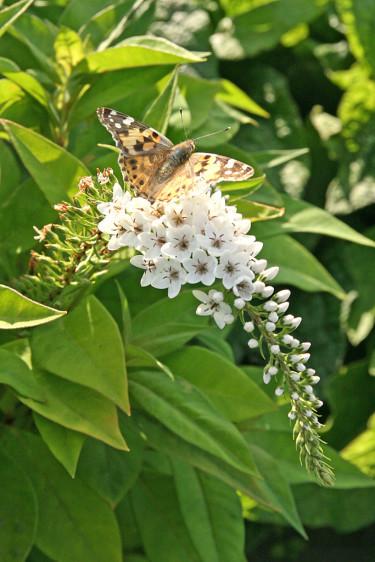 En av årets fina, nya vita perenner. Vitlysing, _Lysimachia clethroides_. Visst är den vacker! Beställ här: [Perennerbjudande](http://erbjudande.odla.nu/bpr/?p=1)