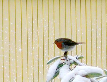 Rödhaken och andra fåglar är hungriga - ordna fågelmat nu! Foto: Sylvia Svensson.