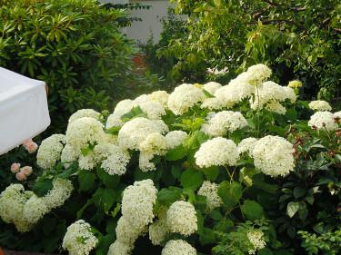Vidjehortensia, _Hydrangea arborescens 'Annabelle'_, bjuder på praktfull höstblomning. Foto: Sylvia Svensson