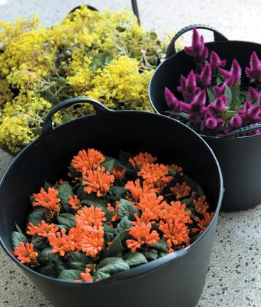 Den mobila trädgården. _Kalanchoe blossfeldiana_, _Hibiscus_, _Celosia_, _Saintpaulia ionantha_.