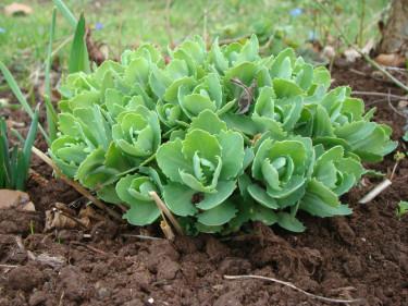 Efter att kärleksörtens fjolårsris har klippts bort är det som om plantan tar sats och bara vill börja växa. Inte mig emot! Foto: Katarina Kihlberg
