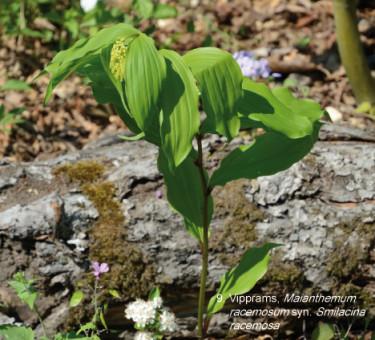 Vipprams, _Maianthemum racemosum_ syn. Smilacina r. Foto: Mästarrabatten