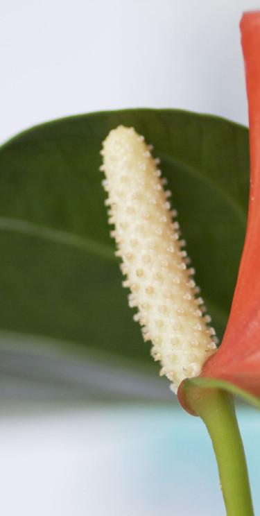 Rosenkalla , _Anthurium Andraeanum_-Gruppen, nära. Foto: Blomsterfrämjandet.