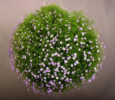 En härlig blåkrageboll.  Foto: Blomsterfrämjandet/Syngenta