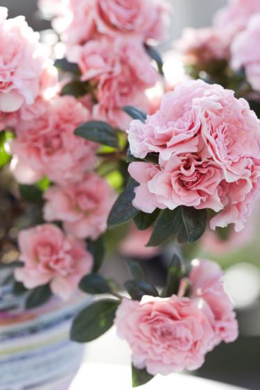 Ljuvligt rosa och kameliablommande vårazalean AIKO får oss att längta till ljusare tider.  Foto: Blomsterfrämjandet/Anna Skoog