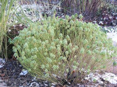 _Euphorbia polycroma_ 'Variegata' på vintern, den kan behålla en del blad om vintern är mild. Foto: Bernt Svensson