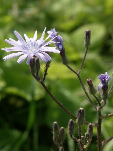 Parksallat, _Cicerbita macrophylla_, i närbild.  Foto: Sylvia Svensson