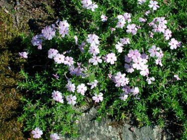 Kuddflox, _Phlox douglasii_ 'Lilac Cloud'.