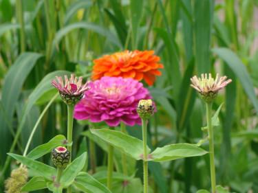 Zinnia kan gärna förodlas för tidigare blomning.