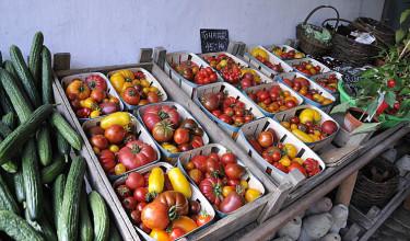 Tomatskörd. Foto: Sylvia Svensson