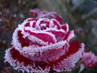 "**Gunnar Sihlens** ""Frostad ros""."