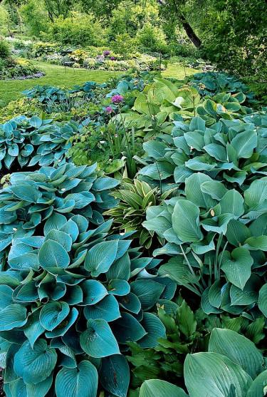 Många blågröna funkior i samplantering.
