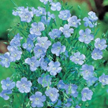Blomsterlin kan direksås i maj.