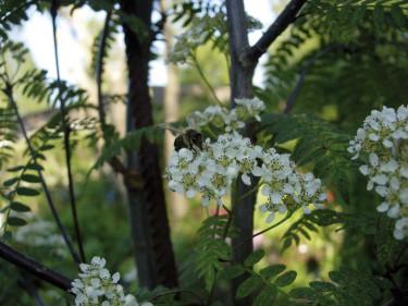 **Pärlrönn**, _Sorbus koehneana_.