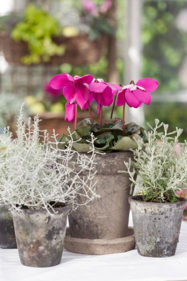 Lila paraplycyklamen, _Cyclamen persicum_ 'Purple Fleur en Vogue´ passar fint tillsammans med silverfärgade växter. Foto: Blomsterfrämjandet/Minna Mercke Schmidt
