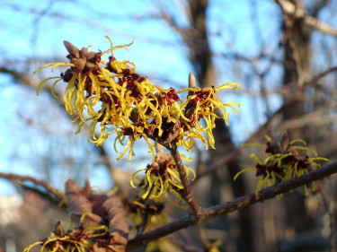 'Allgold', en stor buske med guldgula blommor. Foto: Sylvia Svensson