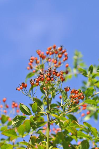 Honungsrosornas nypon är en fin bonus på hösten, här sorten 'Hybrida'.  Foto: Lars Forslin