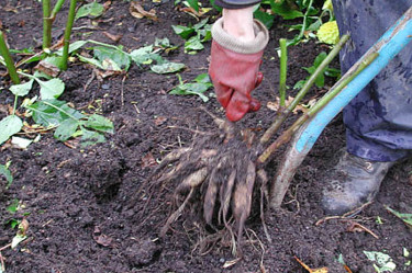 Gräv upp dahliarötterna.Foto: Sylvia Svensson