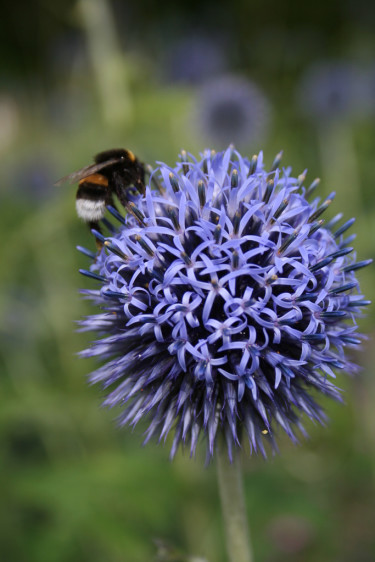 Blå bolltistell, _Echinops bannaticus_, är en riktig humlemagnet. Foto: Marie Andersson