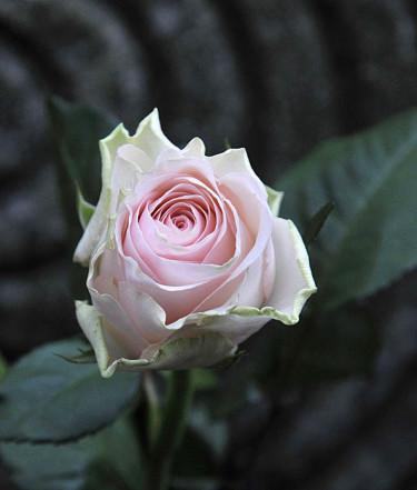 Att ge bort en enda vacker ros kan vara en uppskattad idé! Foto: Sylvia Svensson