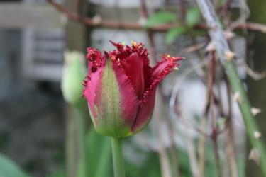 Tulpanerna har blommat i veckor / Foto: Anna Theorin
