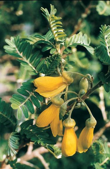Påsköträdet, _Sophora toromira_ i Botaniskas växthus.